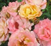 Peach Drift Rose Picture