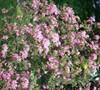 Pinxterbloom Native Azalea