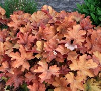 Caramel Heuchera Picture