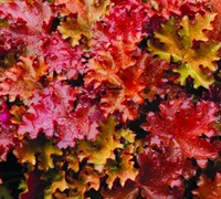 Peach Crisp Heucherella - (Heucherella 'Peach Crisp) Picture