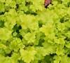 Lime Rickey Heuchera (Heuchera 'Lime Rickey)