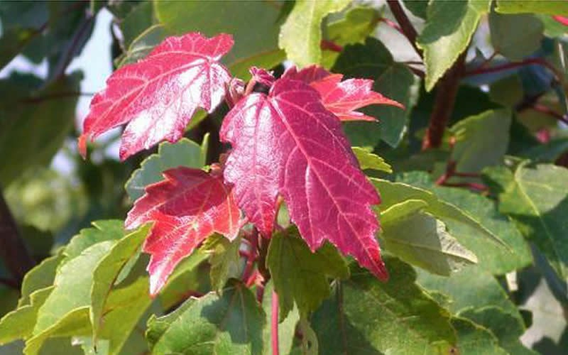Summer Red Maple Picture