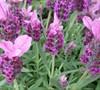 Sugarberry Ruffles Spanish Lavender-(Lavendula Stoechas 'Sugarberry Ruffles')