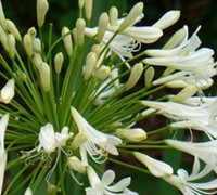 Peter Pan White Agapanthus Picture