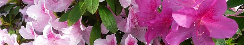How To Plant And Care For Encore Azaleas