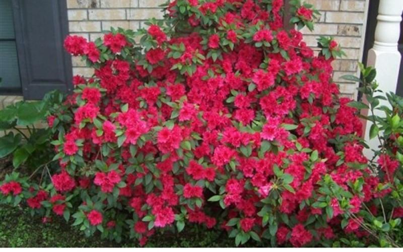 Red Formosa Azalea