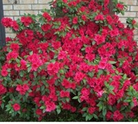 Red Formosa Azalea Picture