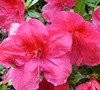 Red Slipper Azalea