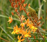 Orange Bulbine Picture