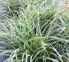 Variegated Mondo Grass