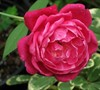Louis Philippee Rose