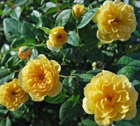 Sunrosa Yellow Rose Picture