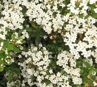 Densa Viburnum Picture