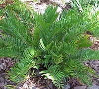 Coontie Palm Picture