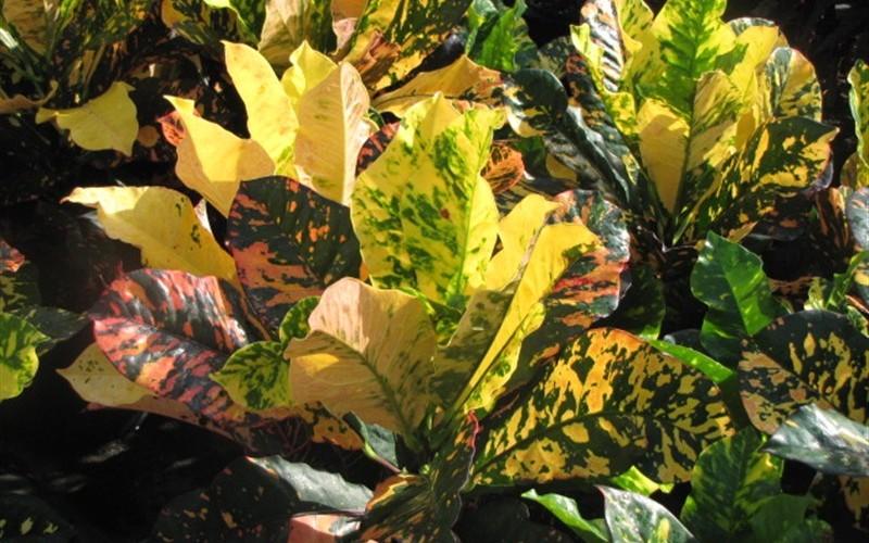 Magnificent Croton