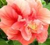 Jane Cowl Double Peach Hibiscus