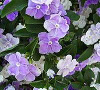 Yesterday, Today And Tomorrow Brunfelsia Picture