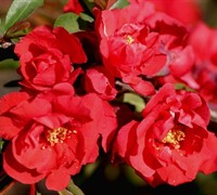 Iwai Nishiki Flowering Quince Picture