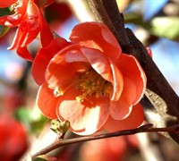 Chojuraku Flowering Quince Picture