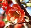 Chojuraku Flowering Quince