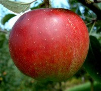 Stayman Winesap Apple Picture