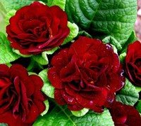 Belarina Valentine Primrose Picture