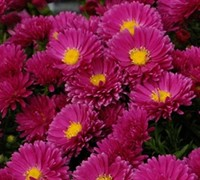 Kickin Carmine Red Aster Picture