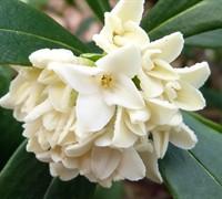 White Daphne Odora Picture