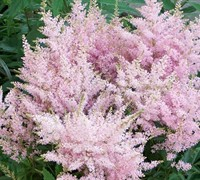 Younique Silvery Pink Astilbe Picture