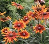 Summerina Orange Echibeckia