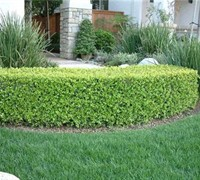 Japanese Boxwood Picture