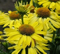 Cleopatra Coneflower Picture