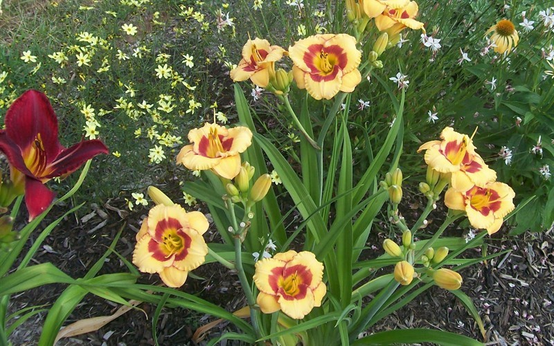 Cherry Candy Daylily Picture