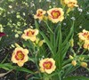 Cherry Candy Daylily