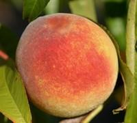 Contender Peach Picture