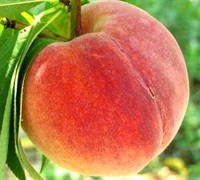 Loring Peach Picture
