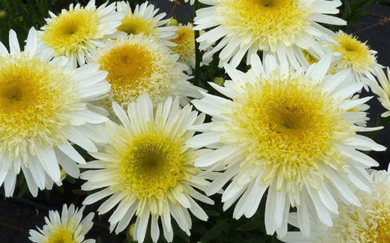 Real Glory Shasta Daisy Picture