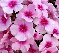 Bright Eyes Summer Phlox Picture