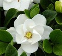 Buttons Gardenia Picture