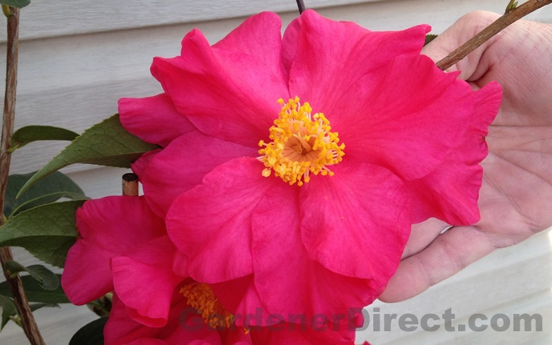 Frank Houser Hybrid Camellia Picture