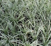 Variegated Mondo Grass Picture