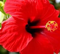 Brilliant Red Hibiscus Picture