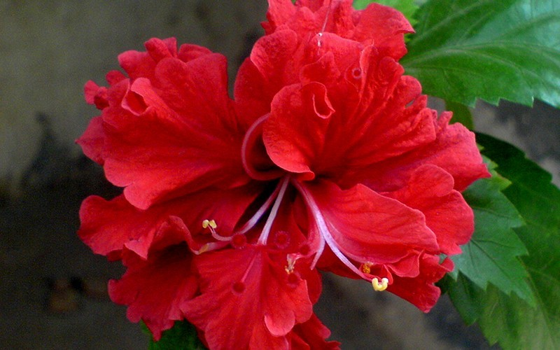 Celia Double Red Hibiscus Picture