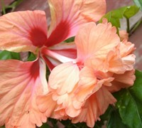 Peach Poodle Hibiscus Picture