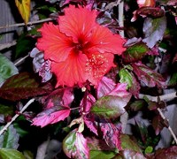 Red Hot Hibiscus Picture