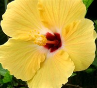 Sunset Yellow Hibiscus Picture