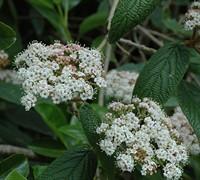 Sweet Viburnum Picture