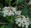 Sweet Viburnum