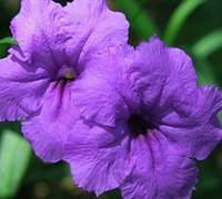 Purple Showers Mexican Petunia Picture