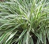 Variegated Flax Lily Picture
